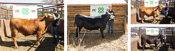 Leduc 4-H Beef Club Calf Sale